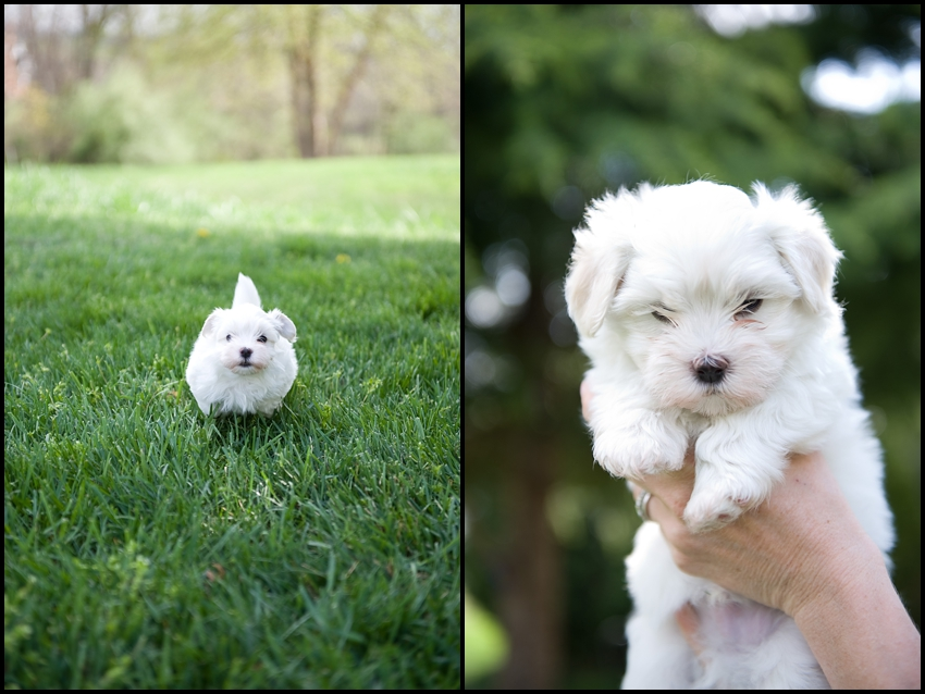 Havanese Puppy Photos Photography Du